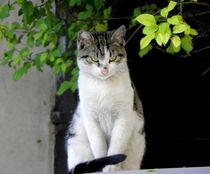Look At Those Eyes - Domestic Cat von bebra