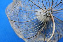 Lampionblume by Jens Berger