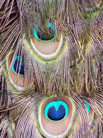 Peacock-tail