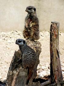 Meerkat Duo von Roger Butler