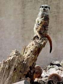 Meerkat Guard by Roger Butler