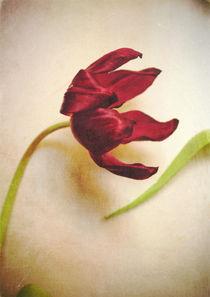 Tulip by Sybille Sterk