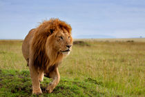 Long, the most beautiful Lion in Masai Mara, Kenya by Maggy Meyer