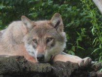 Wolf by Susanne Winkels