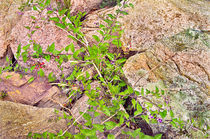 Deadly Nightshade on Acadia Granite by Peter J. Sucy