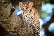 Young Leopard in the tree in the Serengeti by Maggy Meyer