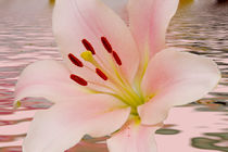 Pink Lily Floral art by David J French