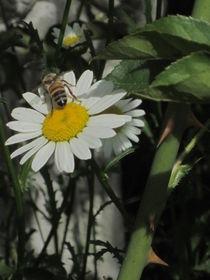Bee On Daisy by Guy  Ricketts