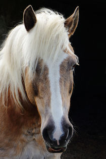 Haflinger Portrait by ropo13