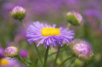 Purple Quintett by AD DESIGN Photo + PhotoArt