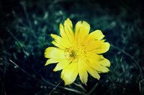 wild flower by Alexandr Verba