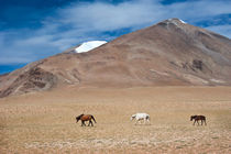Wild Horses At Himalaya Mountains von perfectlazybones