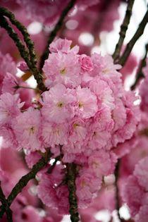 japanische Kirsche by Bettina Schnittert