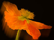 Dramatic Orange Poppy by Don Schwartz