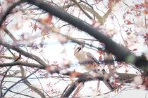 Jaybird // Eichelhäher von Eva Stadler