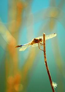 Flying dragon  by Gealt Waterlander