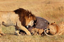 Big Lion Notch and his cub eating a Hippo von Maggy Meyer