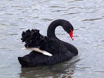 Swan5859pefin
