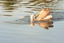 Spot Billed Pelican von reorom