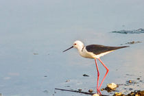 Black-winged Stilt by reorom