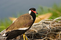 Red-wattled Lapwing von reorom