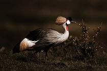 Grey Crowned Crane (Balearica regulorum) in Masai Mara by Maggy Meyer