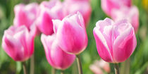 Tulpenzeit II by AD DESIGN Photo + PhotoArt