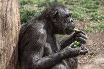 Simpanz-6806