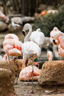 Flamingi-6650