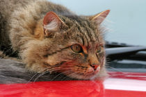 cat on the car von Wolfgang Dufner