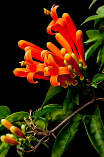 flame vine flowers von Craig Lapsley
