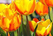 Tulpen Kelche  von Elke Balzen