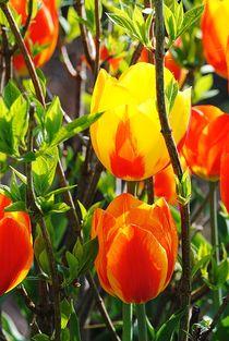Tulpen von Elke Balzen