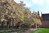 Magnolien im Rathausgarten Lüneburg by Irmtraut Prien