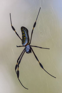 golden orb weaver spider by Craig Lapsley