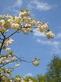 Blütenzweig von Ulrike Kröll