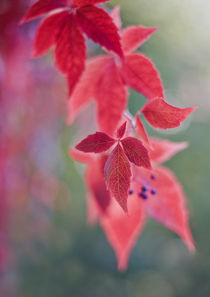 Simply red by Maria Ismanah  Schulze-Vorberg
