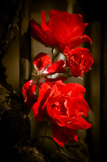 'Blooming Red Roses' by loriental-photography
