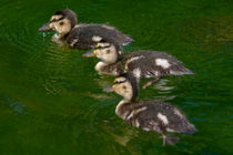 Three Ducklings by linconnu