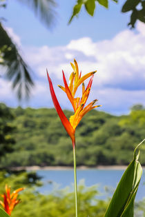 parrots flower heliconia by Craig Lapsley