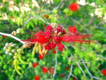 Bottlebrush Flower by Katri Ketola