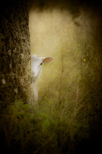 'The Shy Lamb' by loriental-photography
