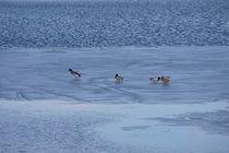Enten auf dem Eis  by Bastian  Kienitz