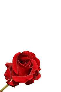 Rote Rose Red Rose by kunertus