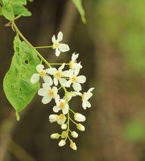 Blüte Prunus padus by Silke Bicker