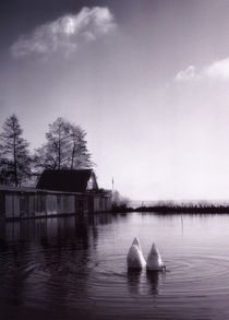 Blue-swans