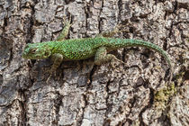Spiny green lizard by Craig Lapsley