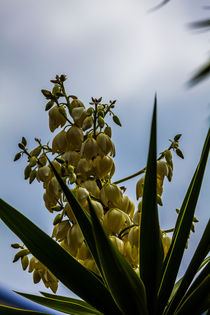 flowering yucca plant by Craig Lapsley