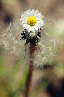 Dandelion-daisy-2