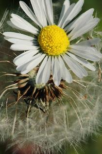 Dandelion-daisy-5